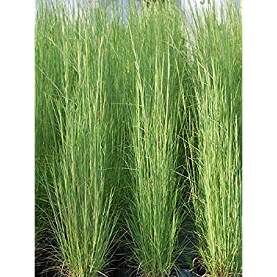 Perennial Farm Marketplace Andropogon virginicus (Broom Sedge) Ornamental Grass, Size-#1 Container, Green/Dark Red-Purple Foliage : Garden & Outdoor