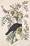 John James Audubon Giclee Canvas Print Paintings Poster Reproduction (American Crow)