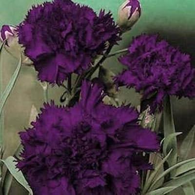 10 King of Blacks Carnation Seeds