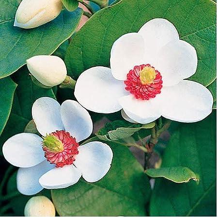 Amazon Com Kouye Gardenseeds King Magnolia Flower Hardy