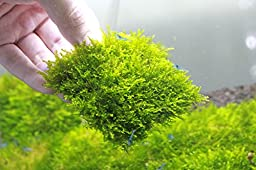 Mini Christmas Moss Mesh Pad - Vesicularia sp. Live Aquarium Plant by SoShrimp