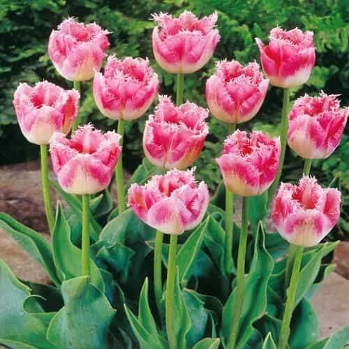 Adolenb Seeds House- 50/100 Pcs Graines de Rare Tulip ...