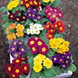 Kings Seeds - Primrose, Mardigras Mixed
