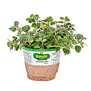 Bonnie Plants 5081 Italian Oregano Herb Plant
