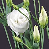 Park Seed Charisma White Lisianthus Seeds