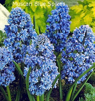 Blue Spike Hyacinth 25 Bulbs - Muscari- Bright Blue!