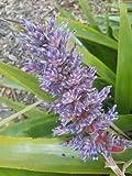 bromeliad Aechmea Bue Purple Live Plant