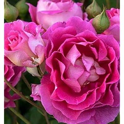 1 Live Plant Quart Pot Own Root Mauvelous Rose Bush Shrub Home Garden tkter : Garden & Outdoor