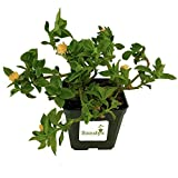 Sandys Nursery Online Ice Plant Aptenia cordifolia 'Baby Sun Rose Gold' 4 inch Pot