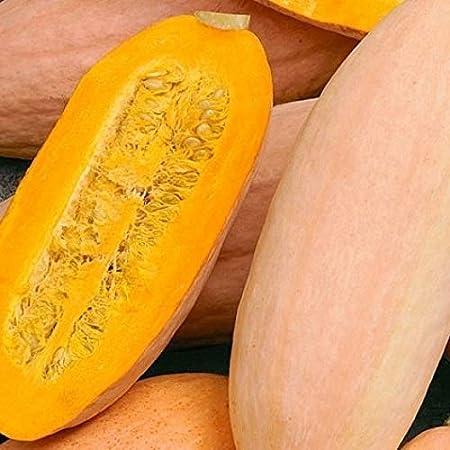 Squash Pink Banana Jumbo Garden Heirloom Vegetable 100 Seeds