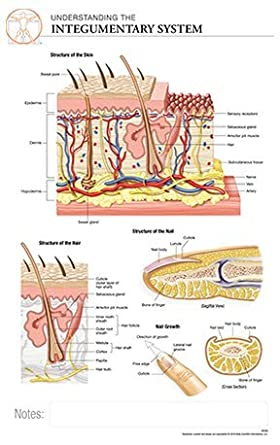 11 X 17 Post It Anatomical Chart INTEGUMENTARY SYSTEM Skin