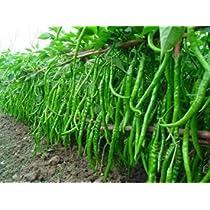 Seedscare Chilli Seeds Hot Jwala Pariksha Hybrid Omaxe Brand Combo
