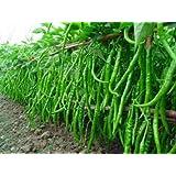 Seedscare Chilli Seeds Hot Jwala Pariksha Hybrid Omaxe Brand Combo (Pack of 50, 2 Packets)