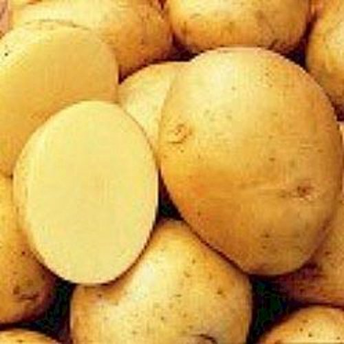 5 lb. SEED POTATOES - Yukon Gold - Organic - ORDER NOW for FALL PLANTING