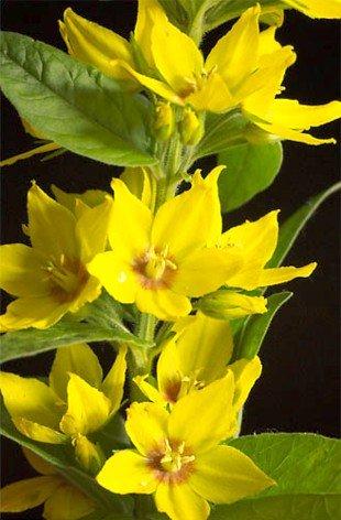 Amazon yellow loosestrife 50 seeds lysimachia perennial yellow loosestrife 50 seeds lysimachia perennial mightylinksfo
