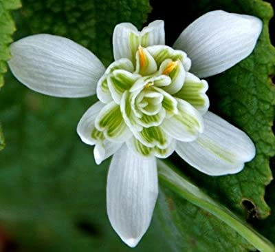 "(3) Flowering Bulbs ""Double Snowdrops - Galanthus Nivalis Flore Pleno"""