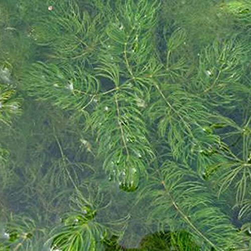 YiiLs 100Pcs Ceratophyllum Demersum Seeds Aquatic Plant Water Tank Aquarium Decor – Ceratophyllum Demersum Seeds