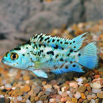 WorldwideTropicals Live Freshwater Aquarium Fish - 1-1.5 Electric Blue Jack Dempsey - by Live Tropical Fish - Great For Aquariums - Populate Your Fish Tank! from WorldwideTropicals