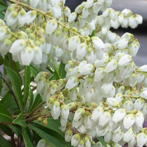 1 X PIERIS 'PRELUDE' EVERGREEN SHRUB HARDY GARDEN PLANT IN POT Gardener's Dream Ltd