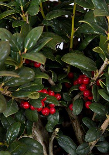 2.5 Qt - Dwarf Burford Holly(ilex cornuta 'burfordii') - Evergreen Shrub with Glossy Green Foliage by Plants by Mail