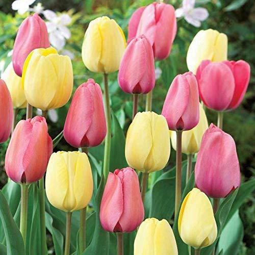 Portal Cool 25 Darwin híbrido tulipán Bulbos-Combo-Marfil y Pink-Impresionante-AGM-bulbos de Primavera