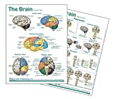 Brain Anatomical Chart Laminated Card, Neurology