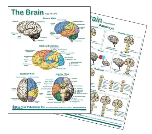 Brain Anatomical Chart Laminated Card, Neurology Blue Tree Publishing Inc. 4101072