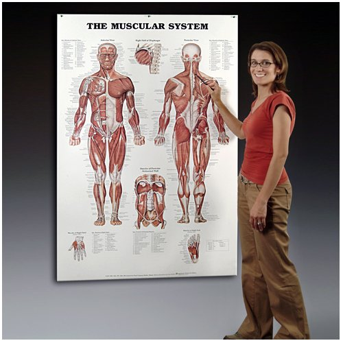 giant muscular system classroom chart for kids 5th 6th grade
