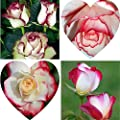100Pcs Fire Ice Rose Seeds Garden Ornamental Flower Home Office Floral Decor