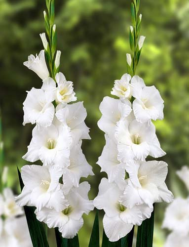 Amazon 10 bulbs amsterdam white gladiolus bulbs summer 10 bulbs amsterdam white gladiolus bulbs summer flowering mightylinksfo