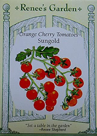 """3 Details about  /Sold Out Live Plant 10-14"""" Super Sweet SUNGOLD CHERRY Tomato golden"""