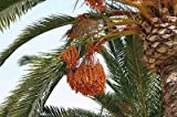 Phoenix dactylifera True Date Palm 20 seeds