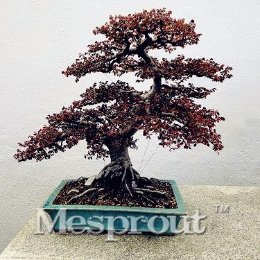 Tree Elm Bonsai Chinese (30 Seeds Chinese Elm Bonsai Tree Seeds Fresh Woody Perennial Seeds Mini Ulmus Pumila Seed #32722668087ST)