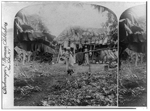 - 1899 Photo A small farmer's tobacco patch, Province of Havanna, Cuba