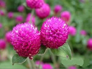SD1320 Pink Potted Rosea Hort Seeds, Gomphrena Amaranth Seeds(30 Seeds)