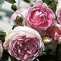 """Arborose Jasmina Rose Bush Lovely Fragrant Reblooming Pink Upright Climbing Rose Grown Organic 4"""" Potted"""