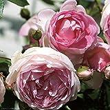 Arborose Jasmina Rose Bush Lovely Fragrant Reblooming Pink Upright Climbing Rose Grown Organic 4' Potted
