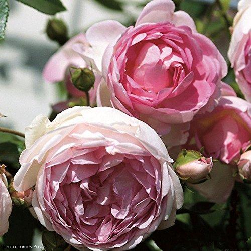 Arborose Jasmina Rose Bush Lovely Fragrant Reblooming Pink Upright Climbing Rose Grown Organic 4