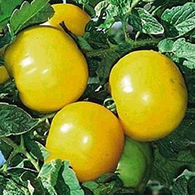 Tomato Seeds 25 Lemon Boy Yellow Tomato Seeds 72 Days : Garden & Outdoor