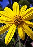 Narrow-Leaved Sunflower (Helianthus angustifolius), 380 Certified Pure Live Seed, True Native Seed