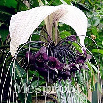 New Arrival! 10PCS Rare BLACK BAT FLOWER Tacca Chantrieri Cat39;s Whiskers Devil Flower Seeds (Bat Flower Plant)