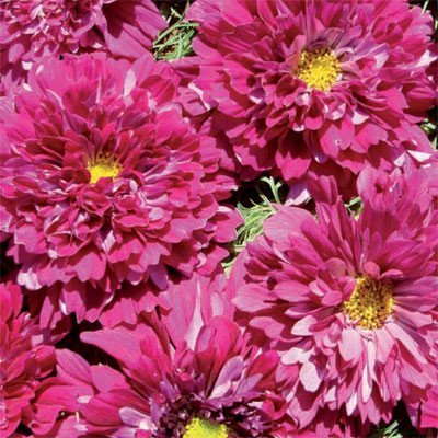 Cosmos Double Click Cranberries, 15 seeds
