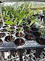 One Live Oak Seedling Quercus virginiana
