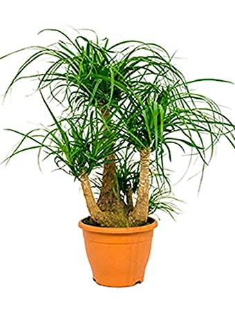 Zimmerpflanzen Für Sonnige Standorte elefantenfuß beliebte zimmerpflanze sonniger standort beaucarnea
