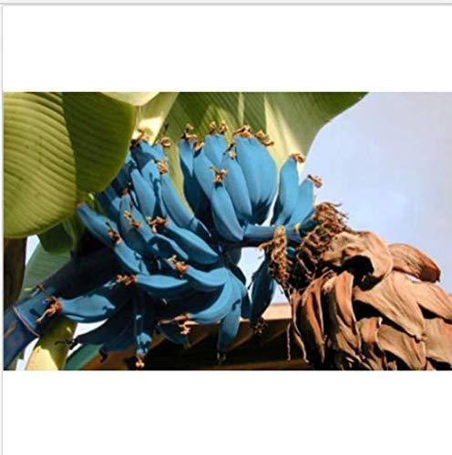 Banana Seeds 200pcs Blue Banana Tree Seeds Delicious Rare Fruit musa Blue Java by GDGY (Image #1)