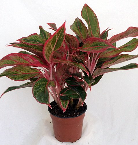 Firecracker Chinese Evergreen Plant