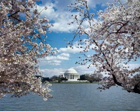 (Jefferson Memorial with cherry blossoms Washington DC - Vintage Style Photo Tint Variant Poster Print by Carol Highsmith (11 x 14))