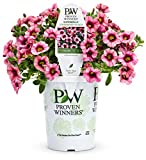 Superbells Strawberry Punch from Proven Winners has softpinkblossoms with a deep pink and yellow throat. The small, petunia-like flowers bloom all seasonon cascading foliage. It also attracts hummingbirds and does not need deadheading.Thi...