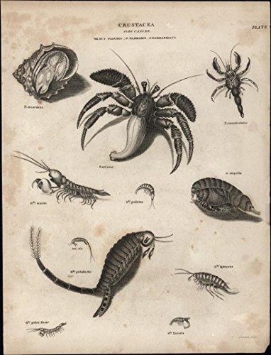 (Crustacea Shrimp Conch Shell arrosor image c 1812 fine antique engraved print)