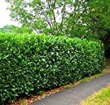 (1 Gallon - Small) Schip Laurel, Evergreen, Great for Low Screens-Versatile-Sun or Shade, Cold Hardy,